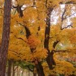深紅と黄色-北大の紅葉